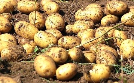 patate sul campo